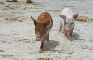 piglets-shallows_1444695i